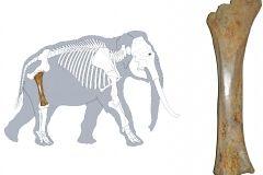 2.-słoń-i-jego-kość-udowa